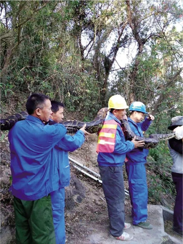 12月20日下午3时,该大蟒蛇再次出现在洞口,相关部门立即联系深圳市