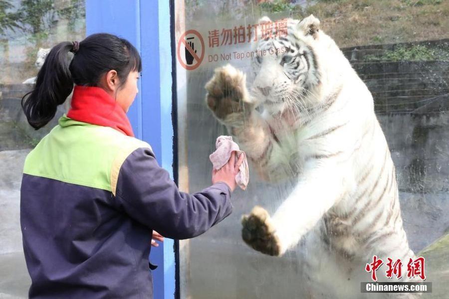"""动物园白虎变""""劳模"""" 模仿饲养员""""擦玻璃"""""""