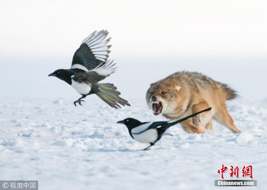 野生胡狼雪地捕猎喜鹊 尖牙利齿目露凶光