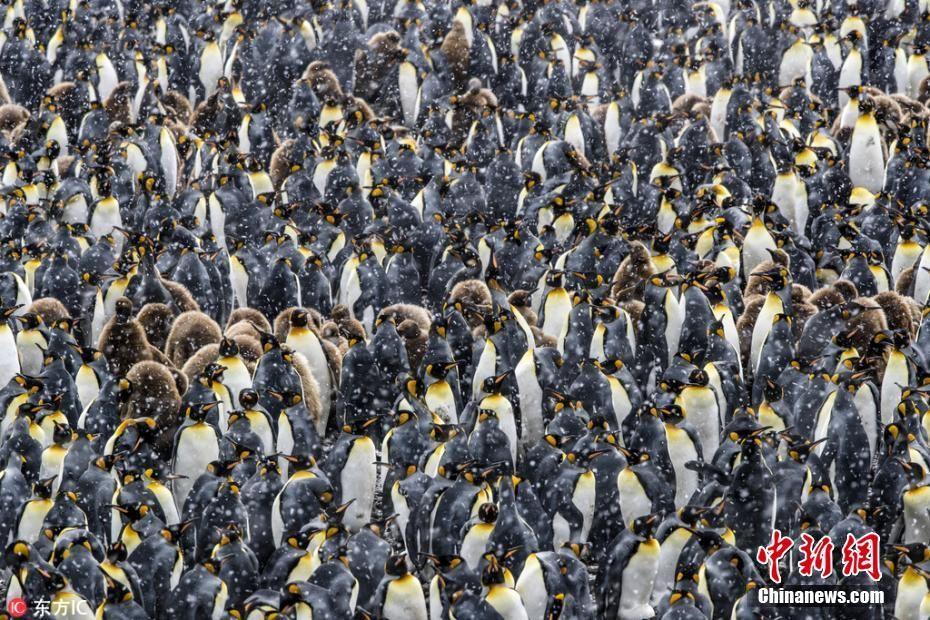 企鹅大军风雪抱团取暖