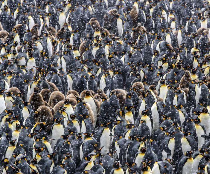 企鹅大军风雪中抱团取暖