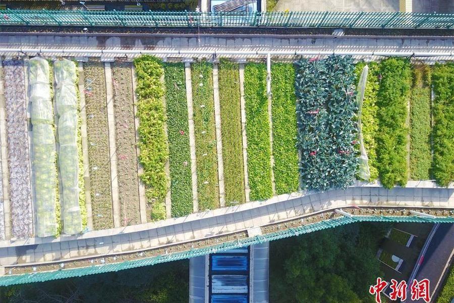 教学楼顶变身生态农场