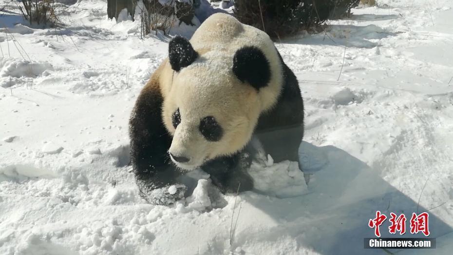 又卖萌!大熊猫雪地撒欢享受雪天乐趣