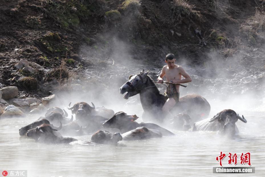 惬意!土耳其牛马冬日泡温泉 享受温暖时光