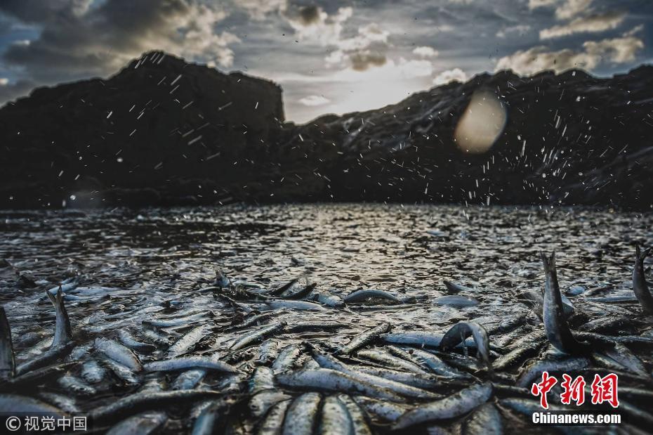 英国海滩现大批鱼群搁浅 原因未知