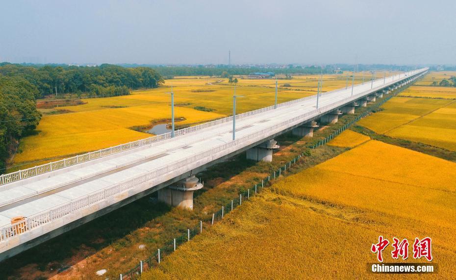 航拍在建昌赣高铁泰和赣江特大桥 如巨龙穿越金色稻田