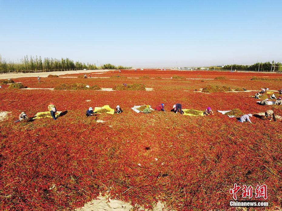 航拍新疆兵团戈壁滩辣椒晾晒场面壮观