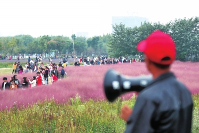 """游客拍照踏花毁根 踩""""疼""""了郑州网红花海或提前收割"""