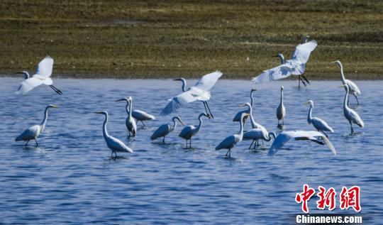 甘肃敦煌湿地白鹭翔集