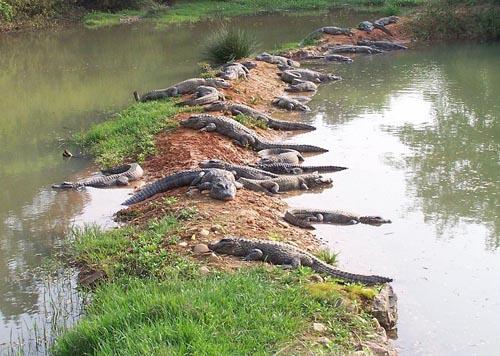 扬子鳄保护区被侵占