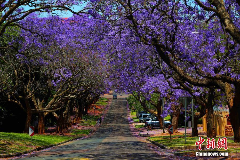 南非蓝花楹最佳观赏期