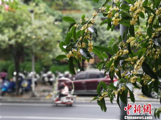广西柳州桂花飘香 进入盛开时节