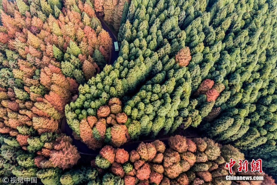 航拍重庆山王坪 双色树林惊艳游客