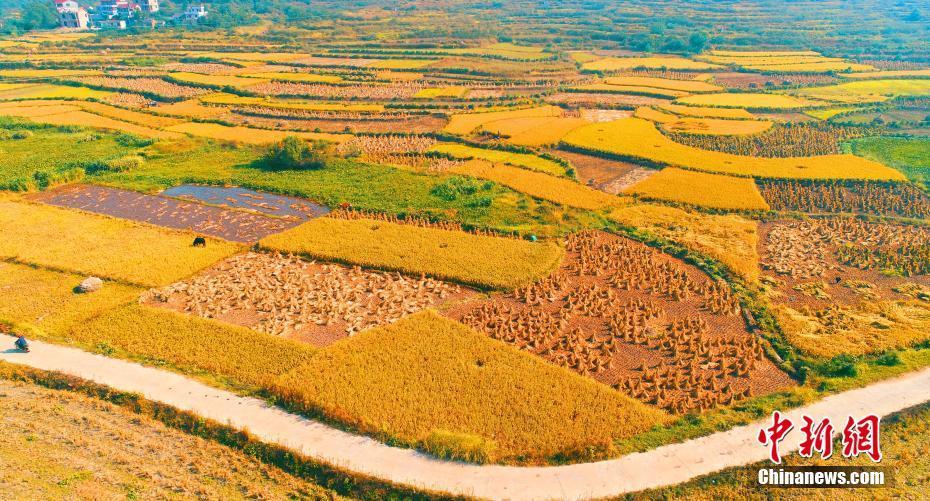 江西农村水稻收割忙