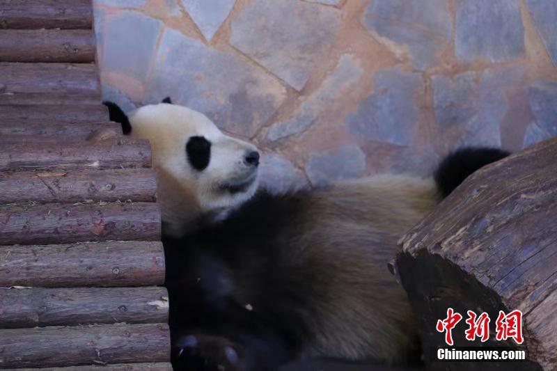 大熊猫各种憨态睡姿