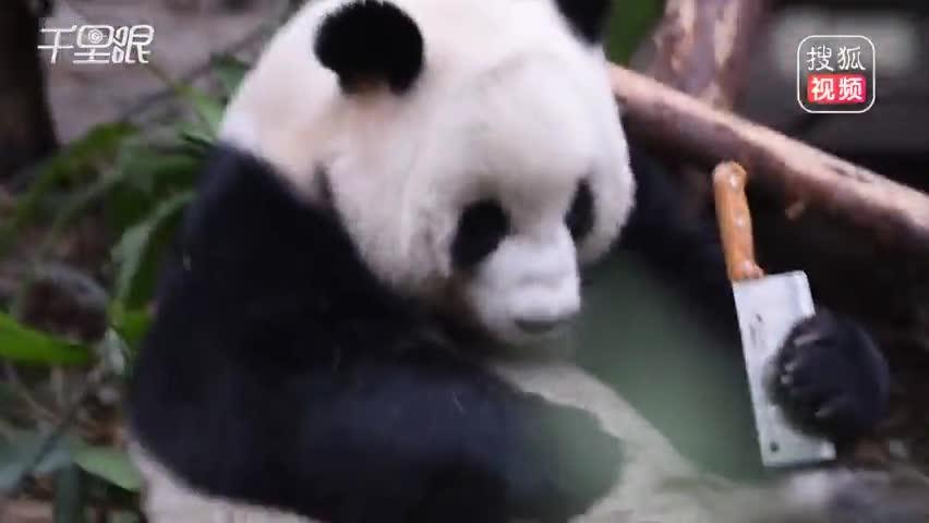 大熊猫紧握菜刀啃咬