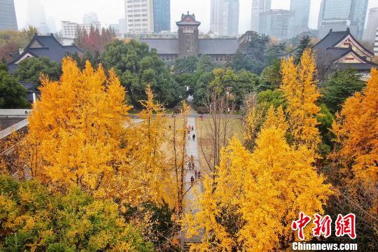 满园秋色关不住 金色银杏成为南京大学靓丽风景