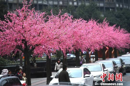 """重庆闹市大片""""桃花""""盛开 众人争相拍照"""
