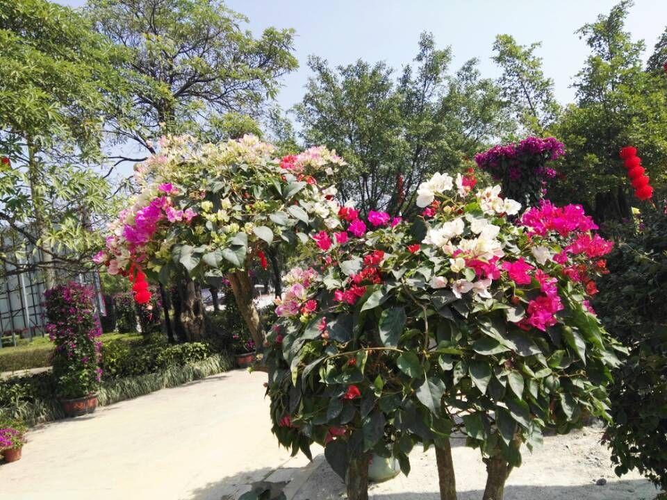 春节假期可免费到蓬江区凤飞云风景区看三角梅迎春展