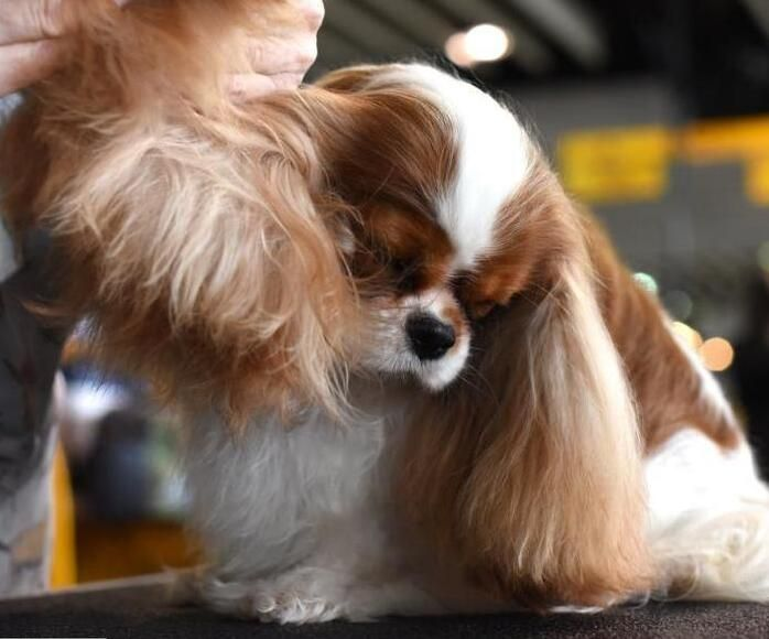 美国第142届犬展举行