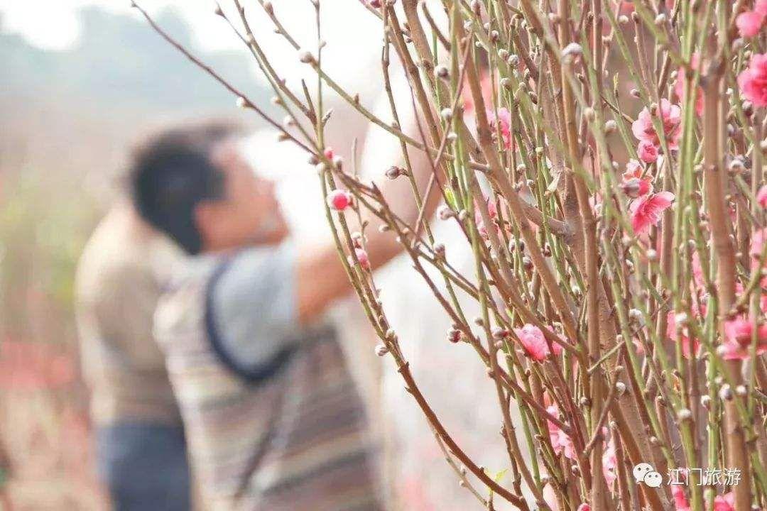 """江门有个""""桃花村"""",游人如织赏花买花"""
