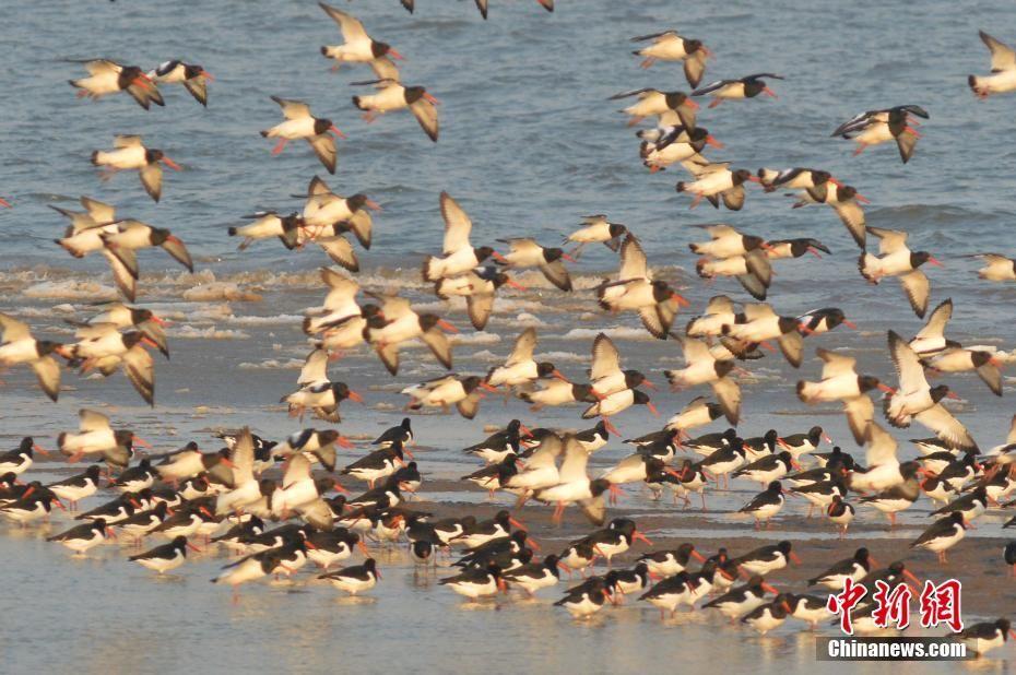 青岛胶州湾湿地海冰初融 大群候鸟前来觅食