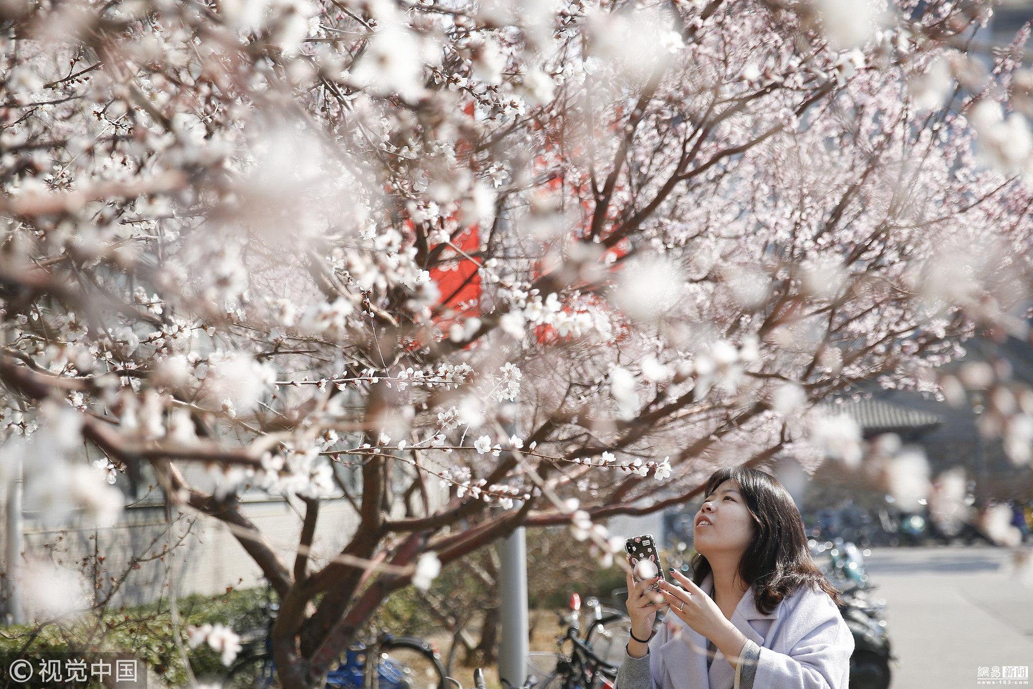 北大校园内樱花盛开