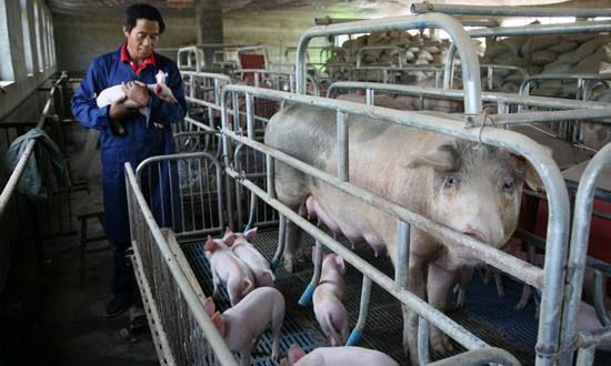 农业农村部: 今年猪价将呈低位振荡走势