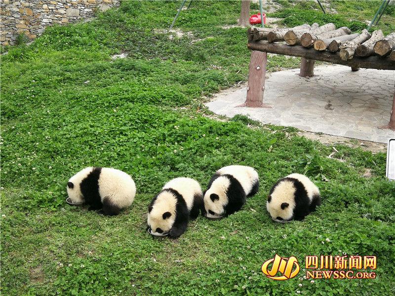 熊猫宝宝喝奶萌翻众人