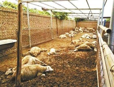 山东百余只羊食用毒大葱死亡案已宣判 两名种植户获刑