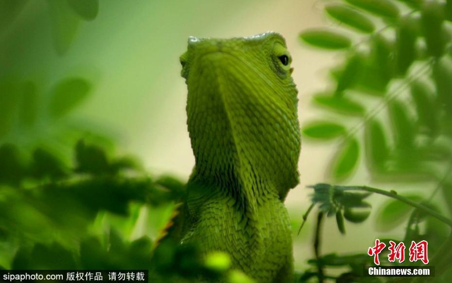 摄影师抓拍绿色变色龙