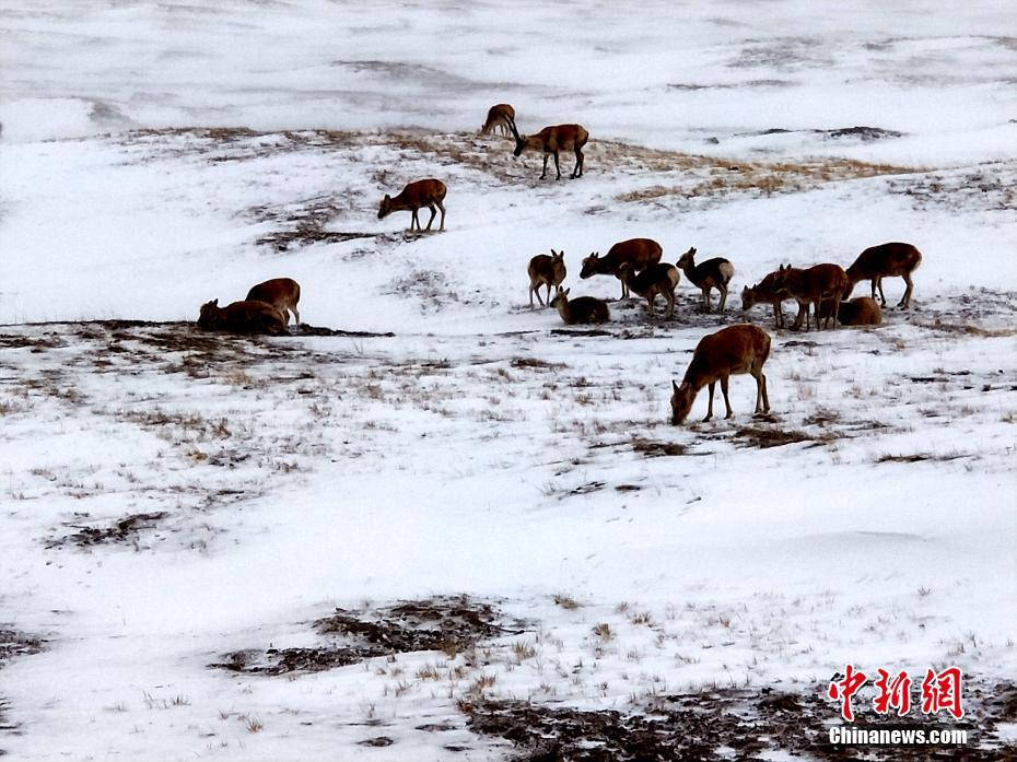 数千只藏羚羊雪中觅食