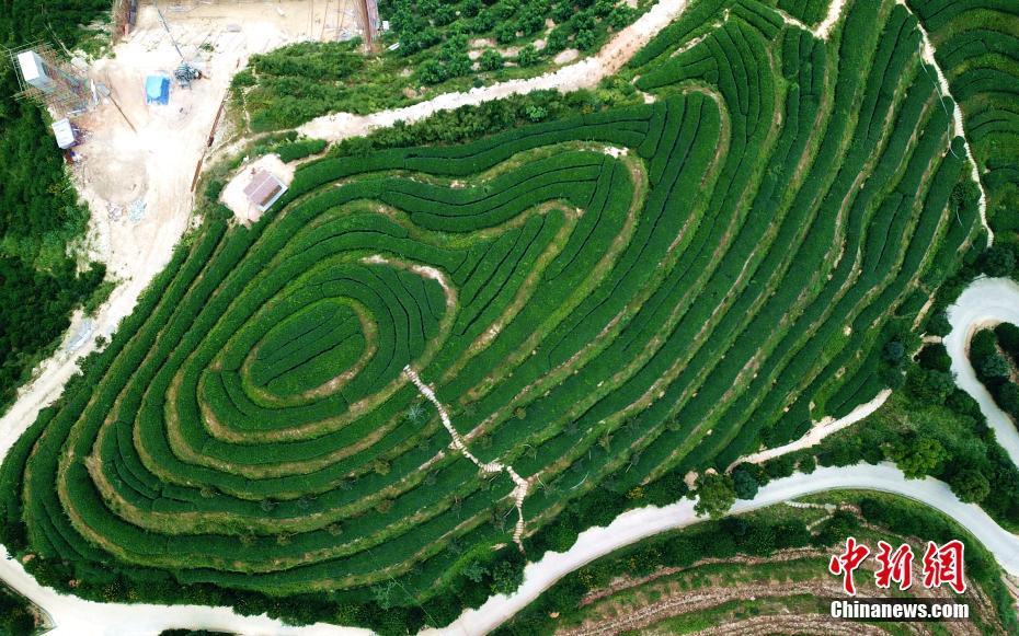 福建平和壮观茶山梯田