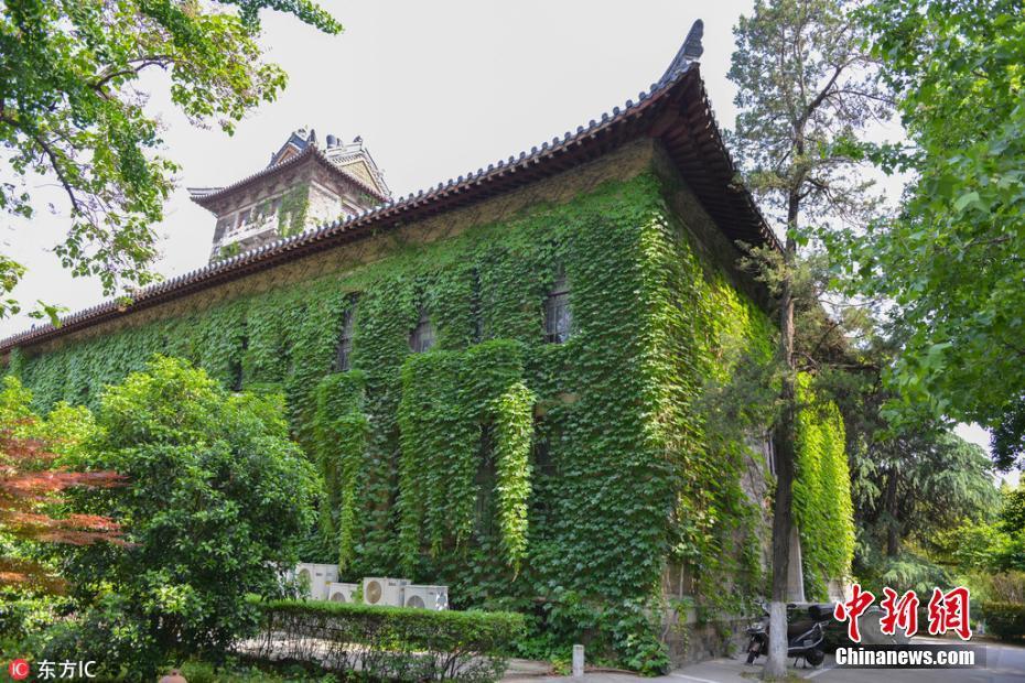 南京大学百岁爬山虎枝叶满墙 绿意盎然令人神往