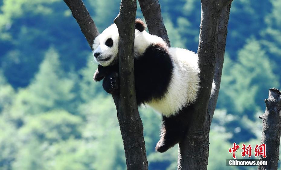 """大熊猫宝宝在熊猫""""幼儿园""""里悠闲自得"""