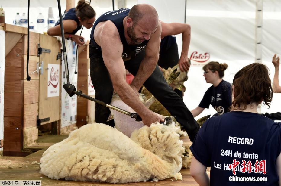 """法国举办""""薅羊毛""""大赛 24小时剃光2500多只羊"""