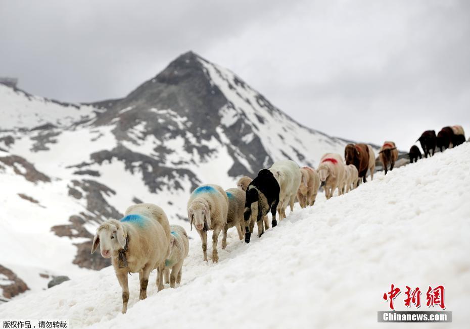 高山牧羊排队爬雪山