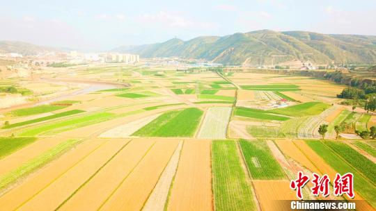 麦收黄土塬似金色地毯