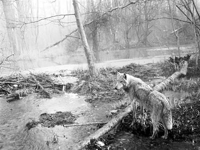 一只狼走进切尔诺贝利