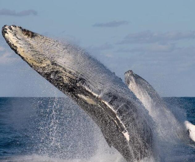 """座头鲸演绎""""双人舞"""""""