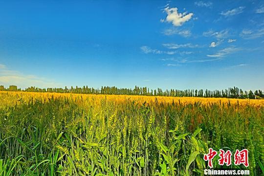 新疆焉耆迎小麦收获季