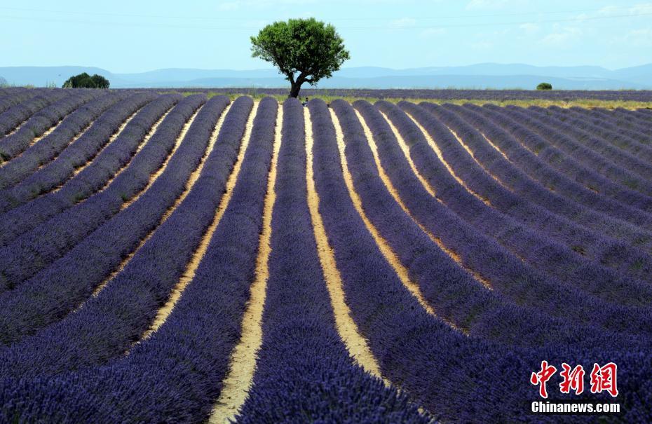 法国薰衣草如梦幻王国