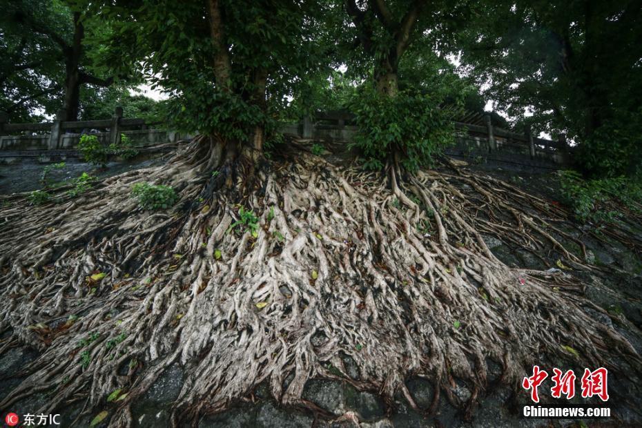 榕树撑破清代古城墙
