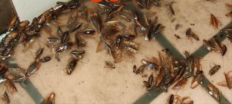 章丘拟用蟑螂吃完60吨厨余垃圾 真的不会蟑螂成灾?