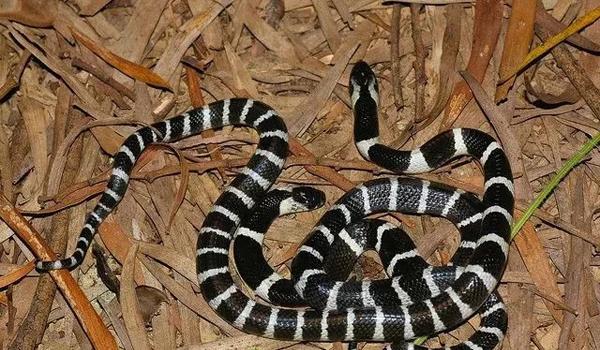 女孩网购银环蛇被咬身亡 快递员称收件时不知是蛇