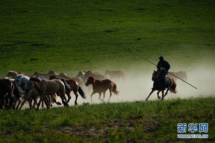 内蒙古赤峰牧民草原驯马 群马奔腾景象壮观