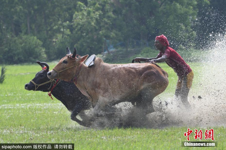 印度农民参加耕牛赛跑 农田里飞奔激烈比拼