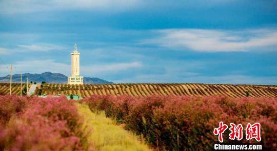新疆阿勒泰2万余亩戈壁变花海惹人醉