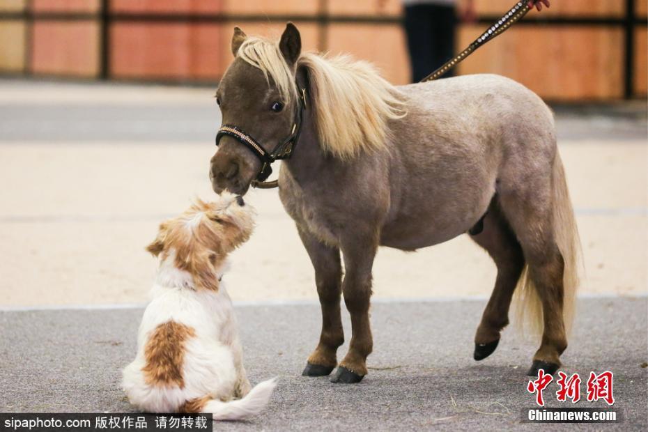 世界最小马身高49厘米