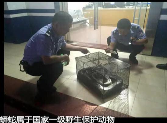 """惠州农庄家鸡频频失踪 """"嫌疑人""""竟是大蟒蛇"""